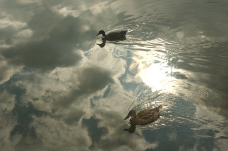 Ducks swimming in reflection of the sun on the lake.