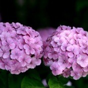 Photo of a purple Hydrangea.