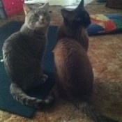 Tabby and seal point Siamese looking over their shoulders back at camera.