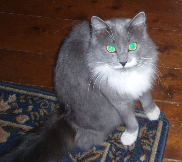 Gray and white long hair cat.