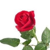 Photo of a red rose.