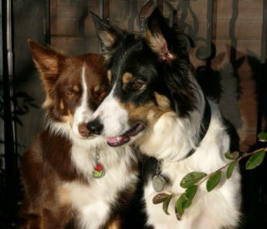 Two Collies
