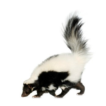 Skunk On white Background