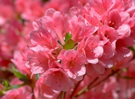 Growing Azaleas