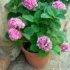 Hydrangeas in a Clay Pot