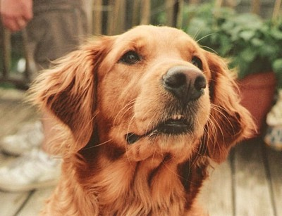 In Memory of Zoe (Golden Retriever)