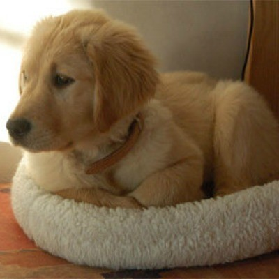 Boogie (Golden Retriever)