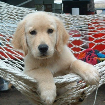 Shiloh (Golden Retriever)