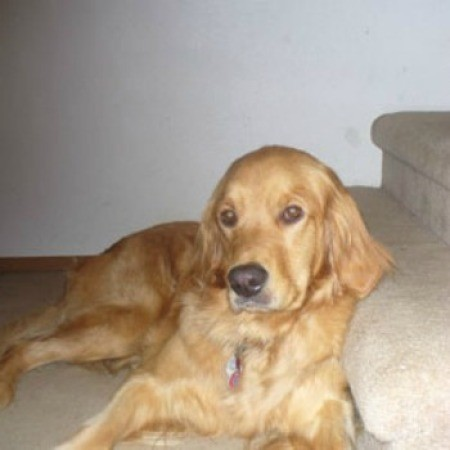 Duchess (Golden Retriever)