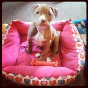 Pit puppy in pink dog bed.