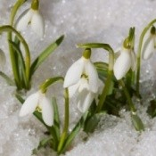 Snowdrops peeking up through the snow.