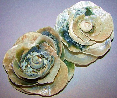 Two sea shell roses.