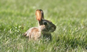 A rabbit sitting in grass.