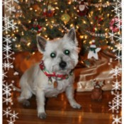 Cairn terrier in front of Christmas tree.