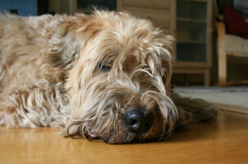 A dog laying on a hardwood floor. - Removing Pet Urine Stains From Hardwood Floors ThriftyFun