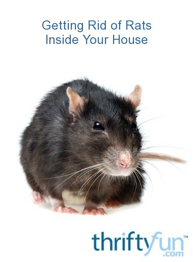 getting rid of rats inside your house thriftyfun. Black Bedroom Furniture Sets. Home Design Ideas