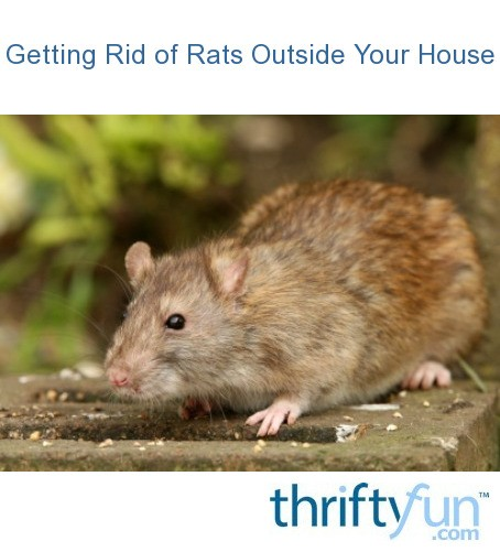Dealing With Rats Outside Your House | ThriftyFun