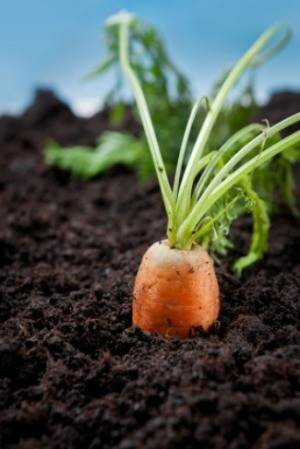 A photo fo a carrot growing in a vegetable garden.