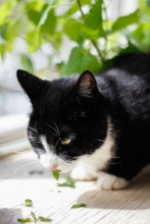 A cat eating catnip.