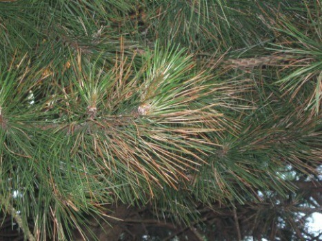 Pine tree with brown needles thriftyfun - Tell tree dying order save ...