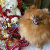 Two Pomeranians with Christmas stockings.