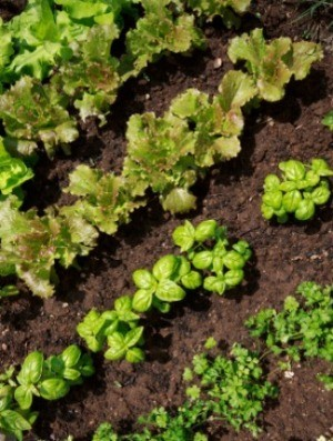 Growing a Salad Garden