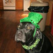Tank with St Paddy's Day hat.