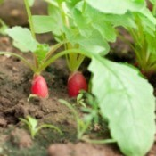 Photo of radishes growing in a vegetable gardening.