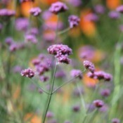 Growing Verbena
