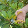 Pruning a Rhododendron
