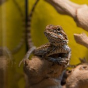 A pet bearded dragon