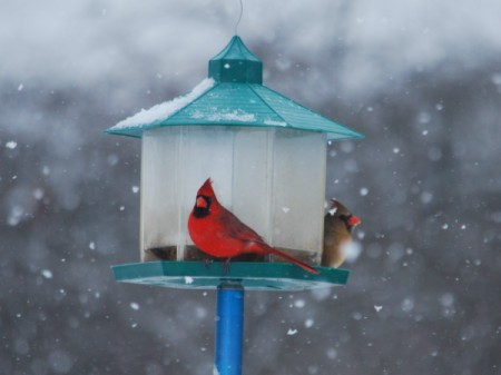 Pair of cardinals on bird feeder in the snow.