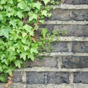 English Ivy on Brick Wall