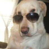 Yellow Lab mix wearing sun glasses.