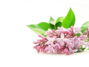 Keeping Cut Lilacs Fresh