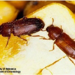 how to get rid of flour beetles