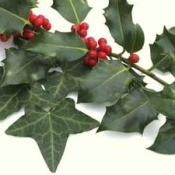 Holly branch.