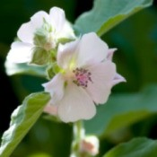 Growing English Mallow