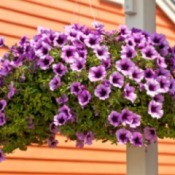 Hanging planter of petunias.