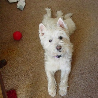 Pudgy (West Highland White Terrier)