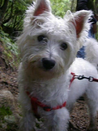 Jackson (West Highland Terrier Mix)