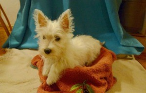 Leyla (West Highland Terrier)