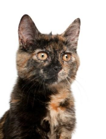 Tortoiseshell cats thriftyfun - Images of tortoiseshell cats ...