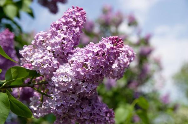 Los arbustos que florecen toda la temporada | Inicio Guías | Puerta SF