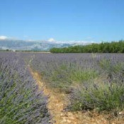 Growing: Lavender