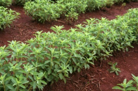 Growing and Harvesting Stevia
