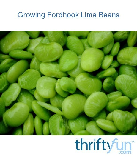 Growing Fordhook Lima Beans Thriftyfun