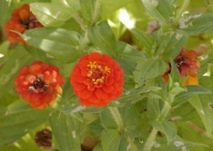 red zinnia flowers