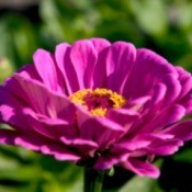 Growing Zinnia