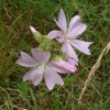 Growing Musk Mallow
